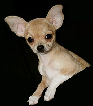 Chihuahua short hair (puppy)
