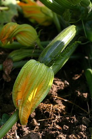 English: Maturating courgette/zuchinni. França...