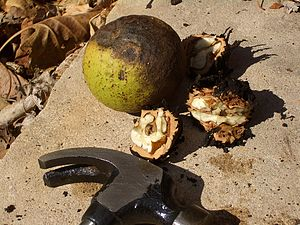 English: Black walnuts - one in its husk, and ...