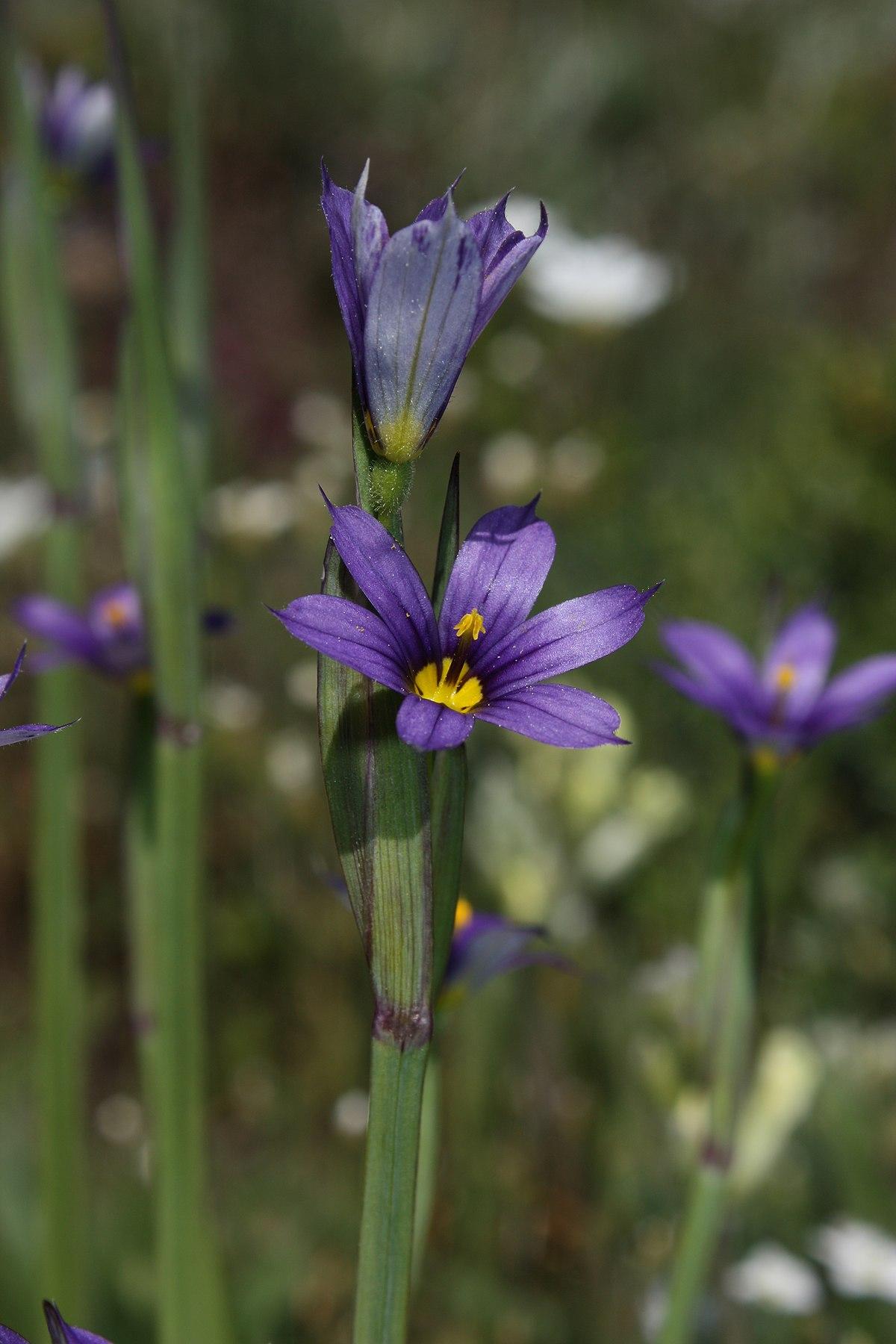 Sisyrinchium idahoense  Wikipedia