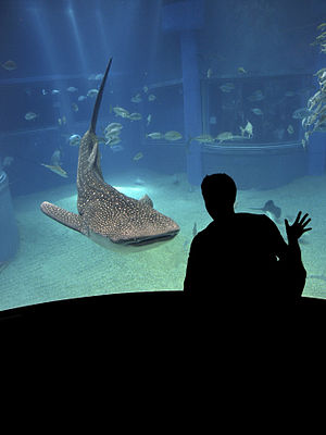 English: Whale shark at the Osaka Aquarium mai...