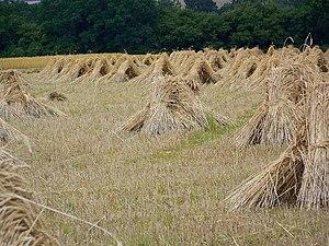 English: Wheat sheaves near King's Somborne Th...
