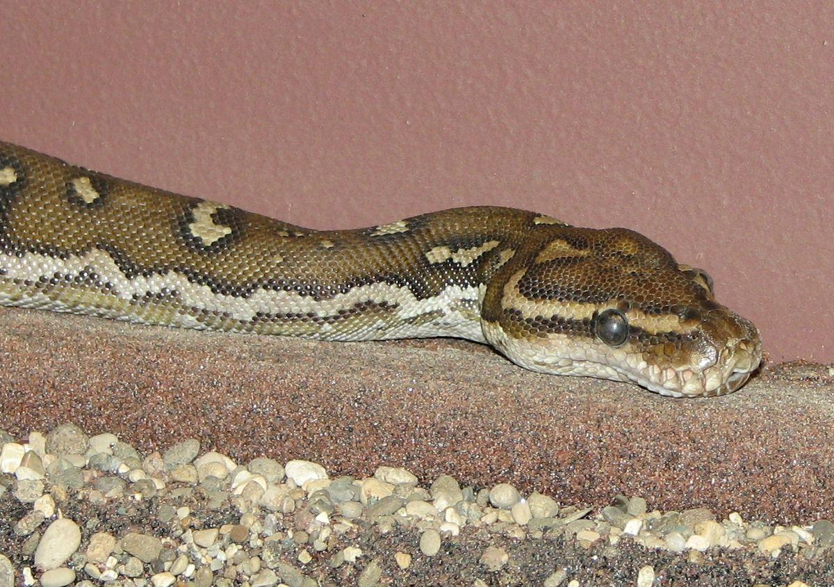 Python (genus) - Wikimedia Commons