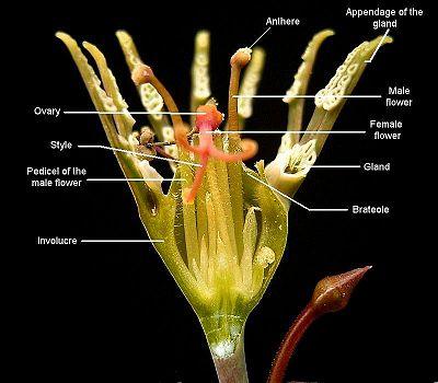 Rose Flower Life Cycle Diagram Cyathium Wikipedia