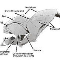 Shark Skeleton Diagram 7 Wire Cdi Box Wiring Dunkleosteus - Wikipedia