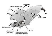 shark skeleton diagram 2 line phone wiring dunkleosteus - wikipedia