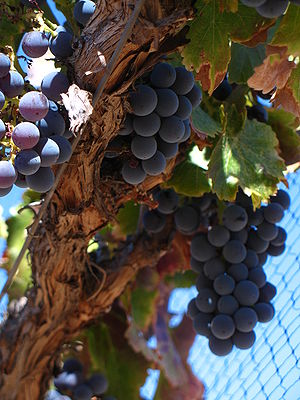 Grenache grapes from Santa Barbara County Cali...