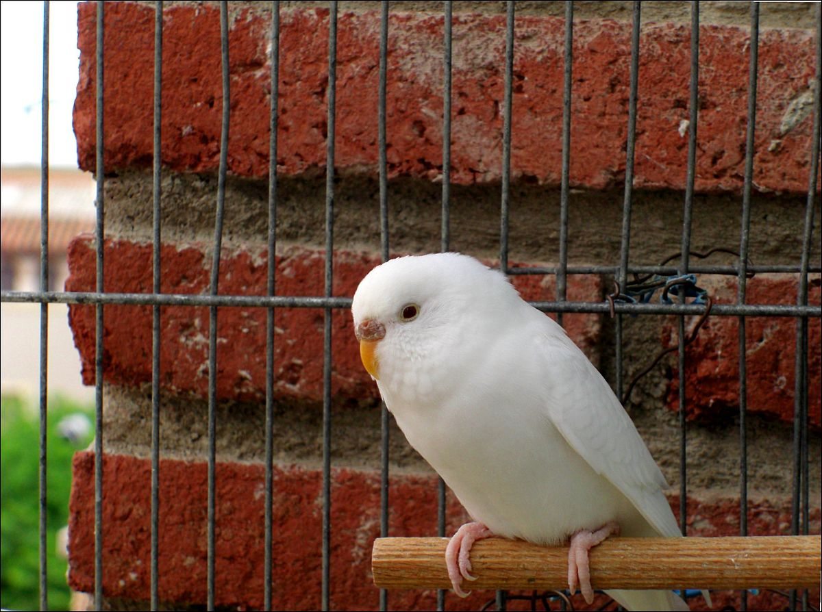 Ino budgerigar mutation  Wikipedia