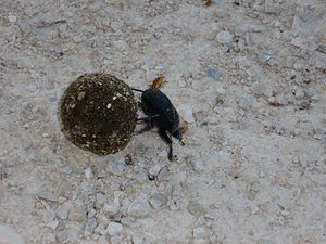 English: Picture of Dung Beetle Italiano: Imma...