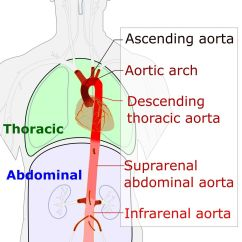 Coronary Arteries Diagram Branches Electrical Mcb Wiring Aorta Wikipedia