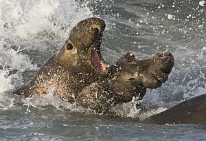 English: Male Northern Elephant Seals fighting...