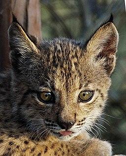 Iberian Lynx cub 01
