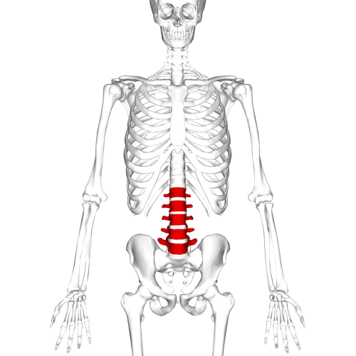 small resolution of the human spine diagram
