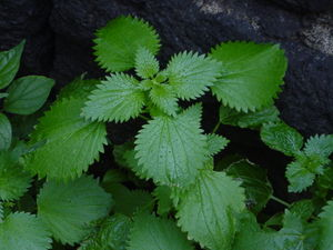 Stinging nettle (Urtica dioica). Picture by Gi...