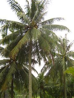 Coconut palm  Simple English Wikipedia the free encyclopedia