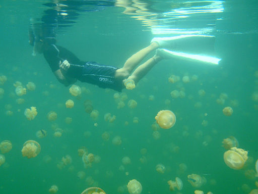 Snorkeling with Jellyfish