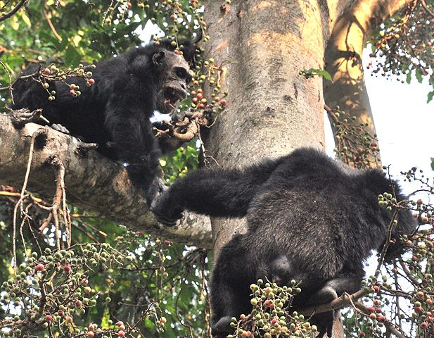 Alpha male chimp and older jump on fig tree. By Caelio