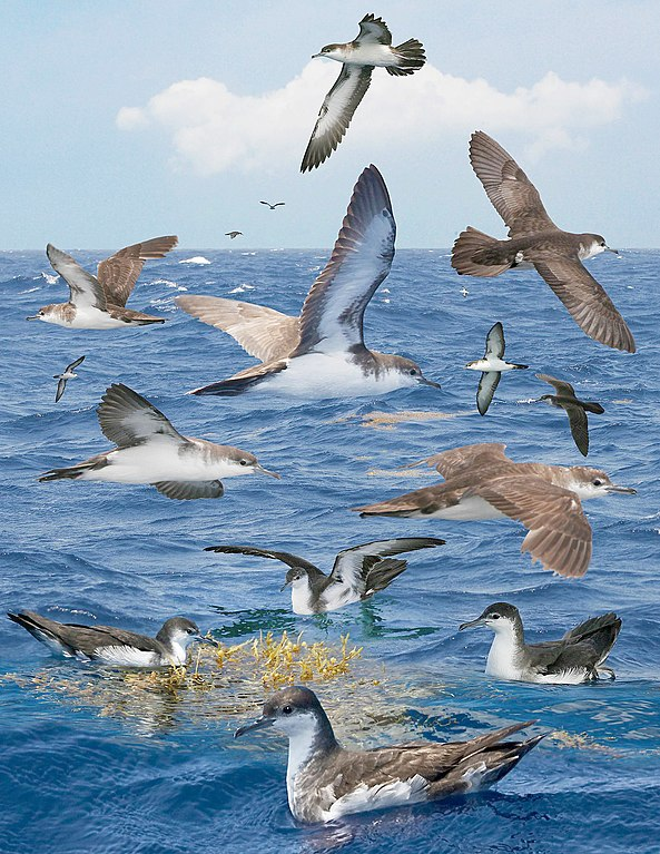 File:Audubons Shearwater From The Crossley ID Guide Eastern Birds.jpg - Wikimedia Commons