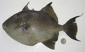 Balistes capriscus  Wikipdia