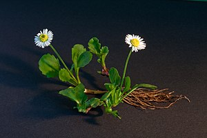 A complete plant of Bellis perennis (Common Da...
