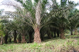 Oil palm plantation on the slopes of Mt. Cameroon