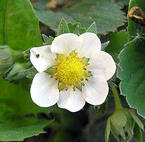 Flower of Garden Strawberry (Fragaria ×ananassa)