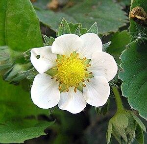 Flower of Garden Strawberry (Fragaria ×ananassa)