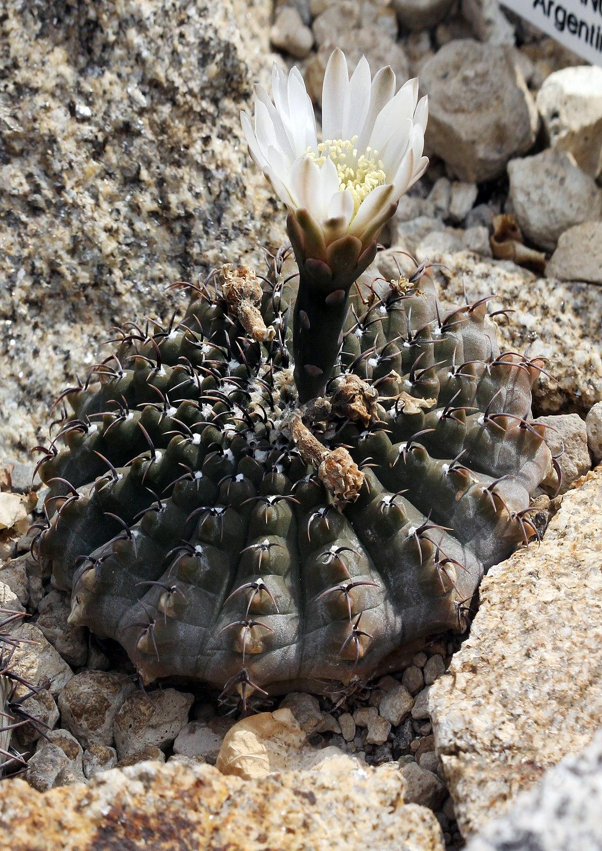 Gymnocalycium quehlianum  Wikispecies