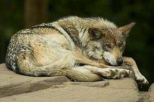 Shot at the Minnesota Zoo. A critically endang...