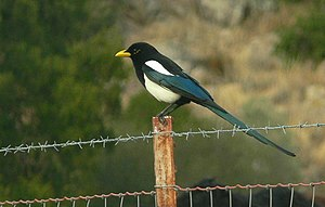 Pica nuttalli This Magpie has a yellow bill an...