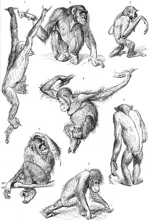 Primate drawings from Brehms Tierleben