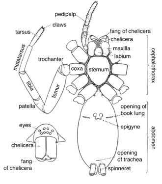 external grasshopper diagram 2000 celica gts radio wiring spider anatomy wikipedia edit