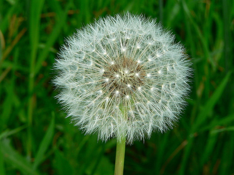Photo of a dandelion puff