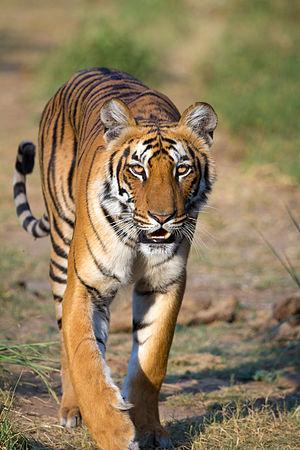 wikijunior wild animals tiger