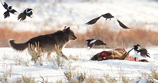 Wolf, magpies, and ravens at carcass near Soda Butte (cropped)
