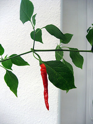 A rare long form of Capsicum chinense-pepper