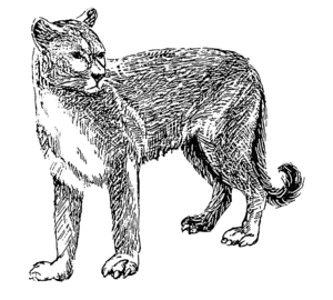English: Line art drawing of a cougar.