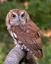 Owls In East Tennessee : tennessee, Eastern, Screech, Wikipedia