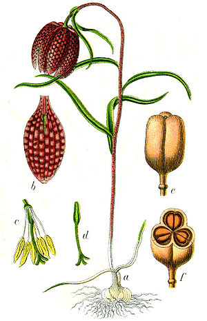 ;Original Caption: Schachblume, Fritillaria me...