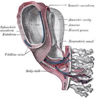 chorionic villus ( placental tissue)