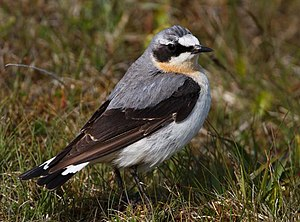 Oenanthe oenanthe English: A Northern Wheatear...