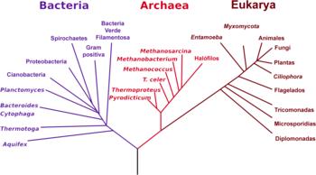 bacterias, archaea y eucariotas tal y como fueron descritas inicialmente por Carl Woese. Otros árboles basados en datos genéticos de otro tipo resultan similares pero pueden agrupar algunos organismos en ramas ligeramente diferentes, presumiblemente debido a la rápida evolución del rARN. La relación exacta entre los tres grupos principales de organismos permanece todavia como un importante tema de debate.