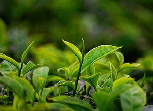 മലയാളം: തേയില / Tea Plant / Camellia sinensis