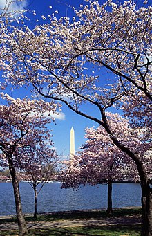 Cherry Blossoms Washington D.C. Tidal Basin - wikipedia
