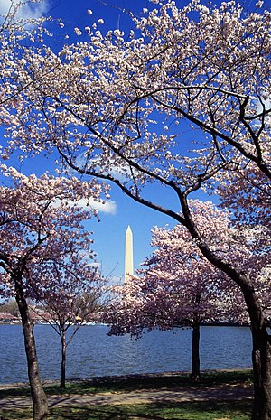 English: Japanese cherry trees (Sakura), a gif...