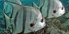 Atlantic Spadefish PLW edit.jpg
