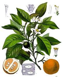 Fleur d'oranger Wikipédia vent du sud quali-art