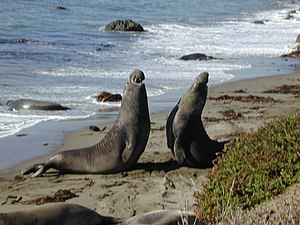 Male elephant seals fighting