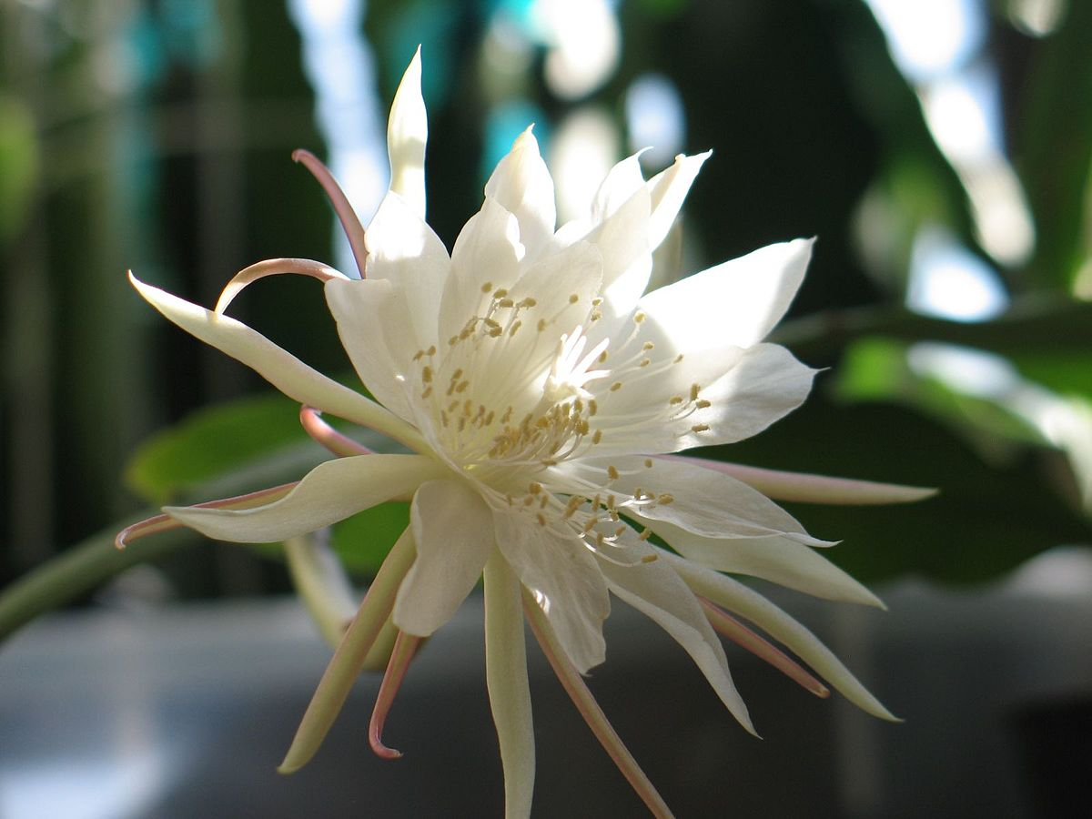 Epiphyllum pumilum  Wikipedia