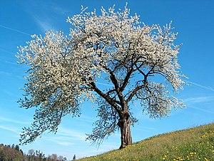 Prunus avium Deutsch: Vogel-Kirsche im Frühlin...